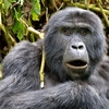 View Mountain Gorilla @ Bwindi UG