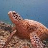 View Turtle At Sipadan Semporna Scuba Diving