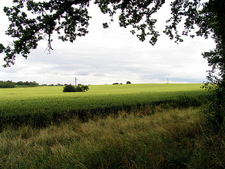 Wheat Growing On Farmland Near Burghfield
