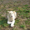 White Lion In Belgrade Zoo