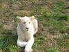 White  Lion In  Belgrade Zoo