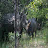White Rhino In Matopos National Park