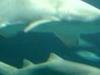 Sharks In The Oceanografico