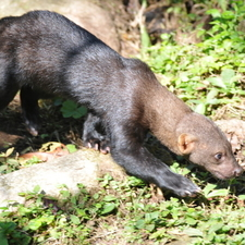 Wild Tayra At Manu National Park