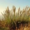 Wild Wheat At Kehoe Beach