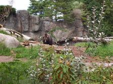 Brown Bear In Woodland Park Zoo