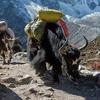 Yak Caravan Near Everest Region