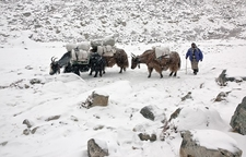 Yak Caravan On Everest Trail