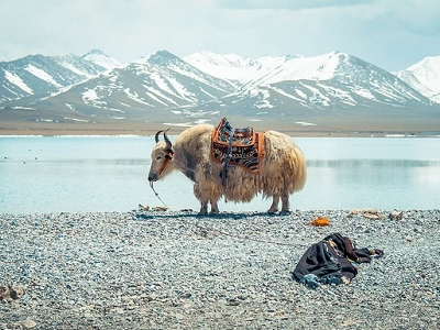 Yak On Namtso Lake Bank