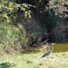 Yellow-Billed Egret - Zambezi River Victoria Falls - Zimbabwe