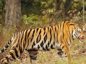 Tiger Photographic Tour Photos