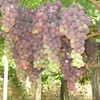 Zahle Grapes