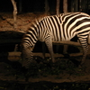 Zebra In Savanna Safari Zone