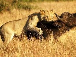 11 DAYS LION SAFARI Photos
