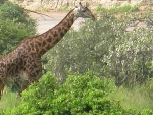 6-Days Manyara / Ngorongoro / Serengeti Photos