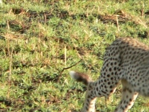 Maasai Mara Great Migration offer 2013 Photos