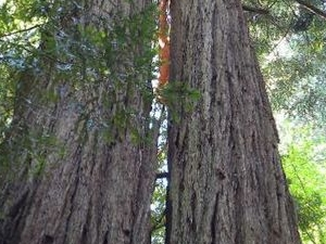 Muir Woods, Giant Redwoods and Sausalito Half-Day Trip Photos