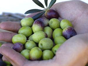 oil oliva tours in Sicily Photos