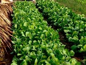 Tra Que - Herbs & Vegetables Photos