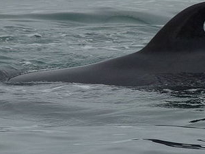 Victoria Whale Watch Tour Photos