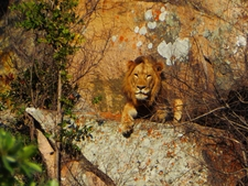 Male Lion Lying On Rock In The Kruger National Park