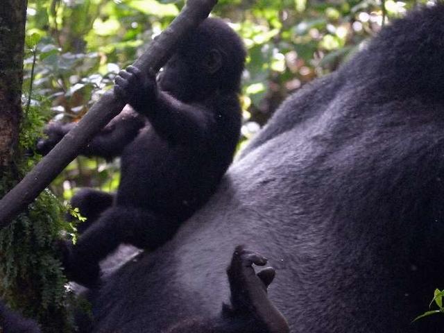 Rwanda Gorilla Safari Photos