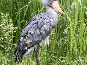 Uganda Birding & Primate Safari
