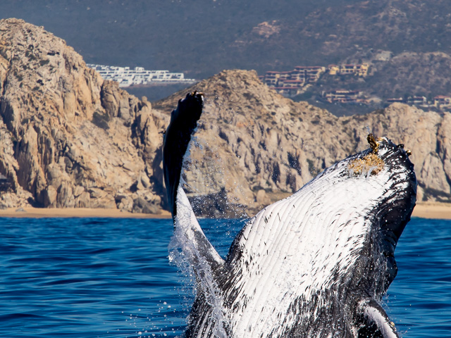 Early Birds for Whale Watching in Cabo San Lucas Photos