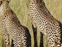 Masai Mara and Nakuru Safari