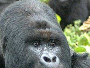 Gorilla Trek in Bwindi Impenetrable Forest Photos