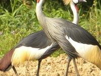 Uganda Forest Birding and Gorillas