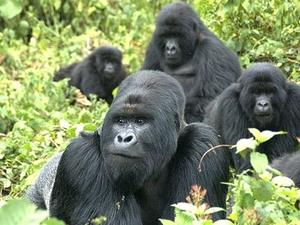 Gorilla Safaris in Uganda Photos