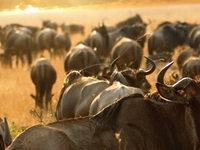 Wildebeest In The Maasai Mara