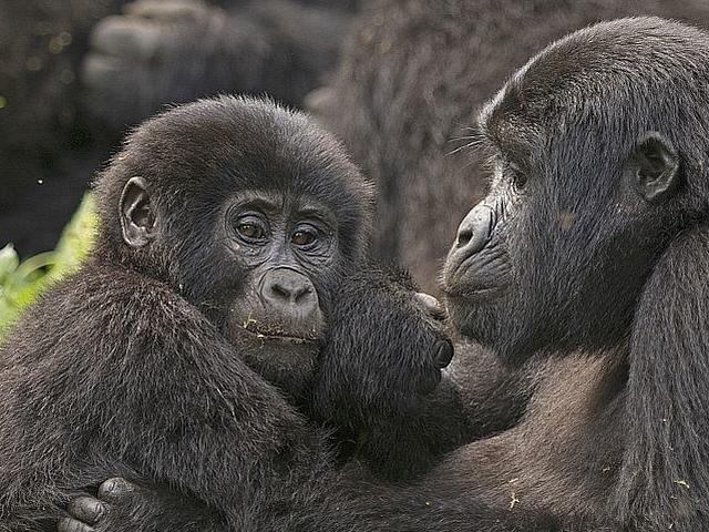 Gorilla tracking, Chimpanzee tracking & Wildlife Combo Photos
