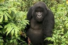 Ultimate Rwanda Gorillas and Chimpanzee Safari
