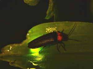Kuala Selangor & Fireflies River Cruise
