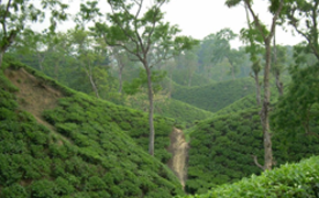 Tea Garden & Tribal Tour