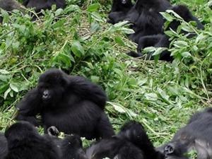 Rwanda Gorilla, Chimps Trek Photos