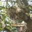 Leopard In Tree With Gazelle Kill Masai Mara