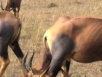 Topi Masai Mara Safari