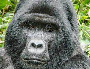6 Days Gorilla Trekking in Uganda Bwindi Photos