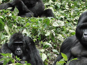 3 Days Gorilla Trekking Tours Photos