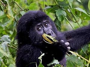 Chimpanzee Tracking & Gorilla Tour Photos