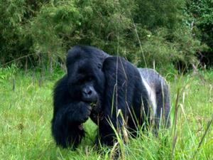 Silverback Mountain Gorilla Safari Photos