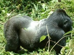 Cheap Gorilla Trekking Tour Photos