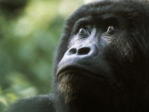 Gorillas 4 Days in Uganda Photos