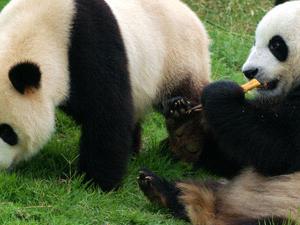 1 Day Chengdu Panda and Leshan Buddha Tour