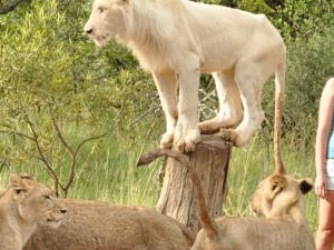 Rustenburg - Sun City to Ukutula Lion Park Day Tour