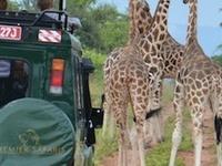 Rothschild Giraffe In Uganda
