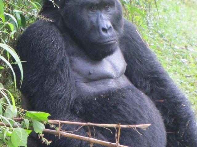 Gorilla, Nature Wildlife and Chimpanzee Treks Uganda Safari Photos